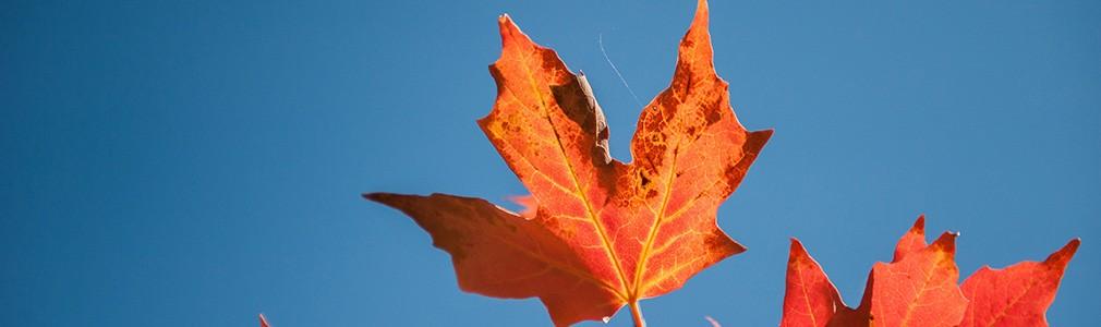Ahornblatt in der kanadischen Flagge